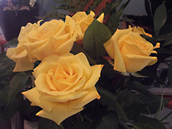 original photo of yellow roses by Herb Rosenfield of the AFCCenter of Cheshire, CT